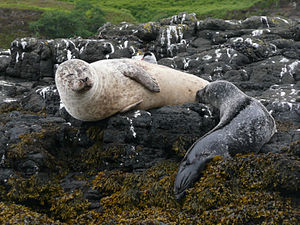 A harbour seal breast feeding a pup. Isle of S...