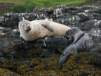 Fauna of Scotland - A grey seal (Halichoerus grypus) feeding a pup, island of Skye.
