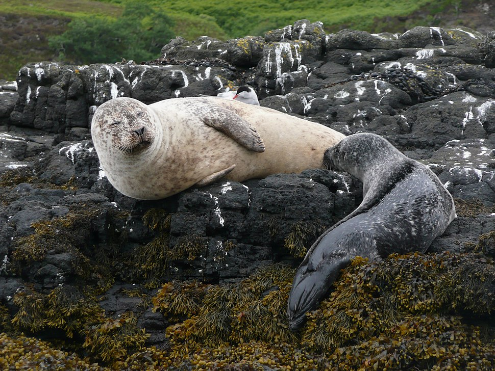 Harbour seal breast feeding 1150144