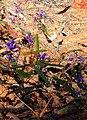 Hardenbergia violacea - a tough existence... - panoramio.jpg