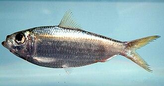 Scaled sardine - Image: Harengula jaguana