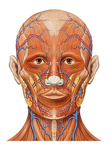 Human head wikipedia anatomy of the human head ccuart Image collections