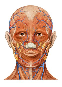 Frontal vein - Wikipedia