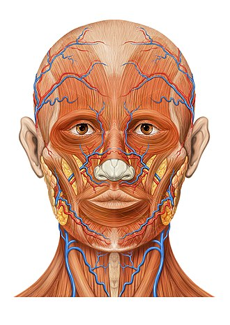 Angular vein - Image: Head ap anatomy