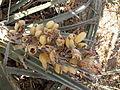 Hechtia species (5769170818).jpg