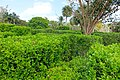 Hedge maze - Mounts Botanical Garden - Palm Beach County, Florida - DSC03785.jpg