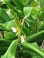 Hedychium spicatum (20983517245).jpg