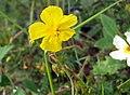 Helianthemum nummularium inflorescence (12).jpg