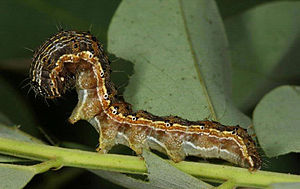 Pest (organism) - Caterpillars cause crop damage