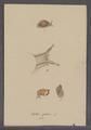 Helix putris - - Print - Iconographia Zoologica - Special Collections University of Amsterdam - UBAINV0274 089 01 0095.tif