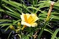 Hemerocallis Orange Gumdrops 7zz.jpg