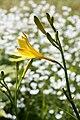 Hemerocallis lilioasphodelus 04.jpg