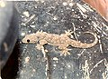 Hemidactylus flaviviridis.jpg