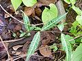 Hemidesmus indicus Common Crow host plant Yeoor DSCF7480 (4).JPG