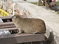 "Hermanus - Rock Hyrax or ""Dassie"" - panoramio.jpg"