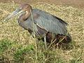 Heron in Tanzania 3277 cropped Nevit.jpg