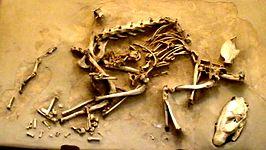 Fossiel van H. gregarius