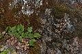 Heuchera micrantha 4940.JPG