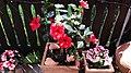 Hibiscus - Eibisch - panoramio.jpg