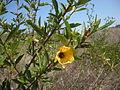 Hibiscus divaricatus.jpg