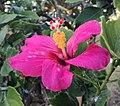 Hibiscus fragilis Mauritius 0.jpg