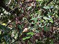 Hibiscus hispidissimus (16011414959).jpg