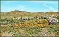 High Desert Wildflowers (212126653).jpeg