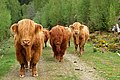 Highland Cattle - geograph.org.uk - 797365.jpg