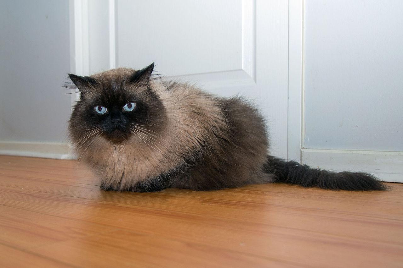 Kucing Himalaya Wikiwand