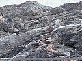 Himalayan Snowcock (Tetraogallus himalayensis) (37907442504).jpg
