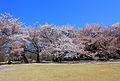 Hinjuku Gyoen National Garden - sakura 5.JPG