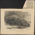 Hippopotamus amphibius - 1872 - Print - Iconographia Zoologica - Special Collections University of Amsterdam - UBA01 IZ21900058.tif