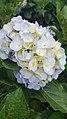 Hoa Cẩm Tú Cầu 2.jpg