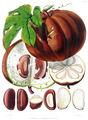 Hodgsonia heteroclita fruit.jpg