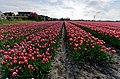 Hollands Kroon - 't Veld - Zwarteweg - Panorama View on Tulips 6.jpg