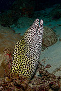Honeycomb moray eel(Gymnothorax favagineus)