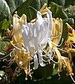 Honeysuckle (5494686691).jpg