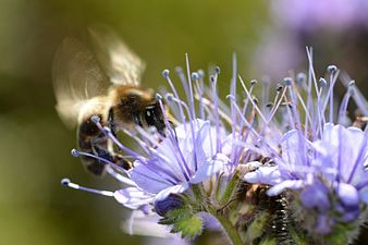 Honney bee (31711999960).jpg