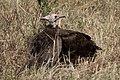 Hooded Vultures (27588285874).jpg