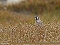 Horned Lark (Eremophila alpestris) (30041556554).jpg