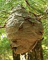 Hornet Nest.jpg