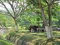 Horses in Belmopan, Belize.jpg