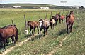 Horses on road to Jerez (37725078332).jpg