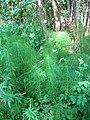 Horsetails by Marbury Big Mere - geograph.org.uk - 205386.jpg