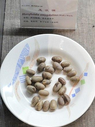 Myristicaceae - Seeds of Horsfieldia amygdalina