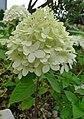 Hortensja bukietowa. (Hydrangea paniculata). 02.jpg