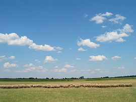 Sheep herding in the Great Western Plain