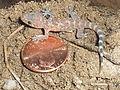 House Gecko Penny.JPG