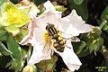 Hoverfly (FG) (8957621213).jpg