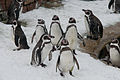 Humboldtpinguine Zoo KA DSC 6613.jpg